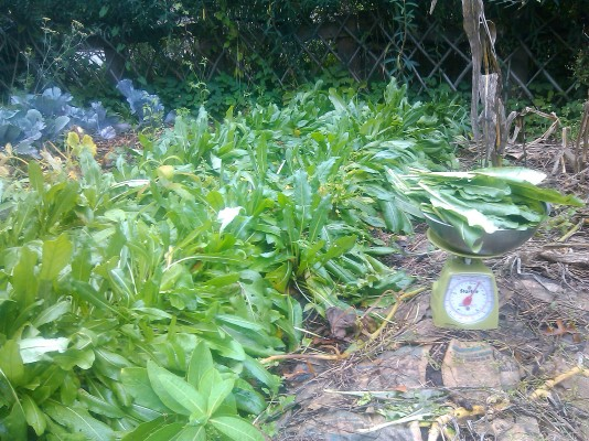 woad in garden